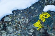Lichen and Snow