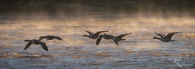 Geese-Flock-at-Sunrise.jpg