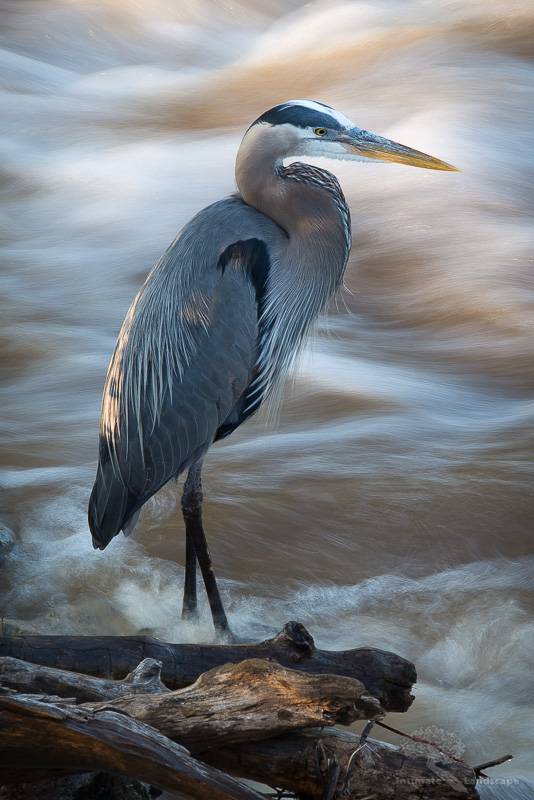 Great-Blue-Heron.jpg
