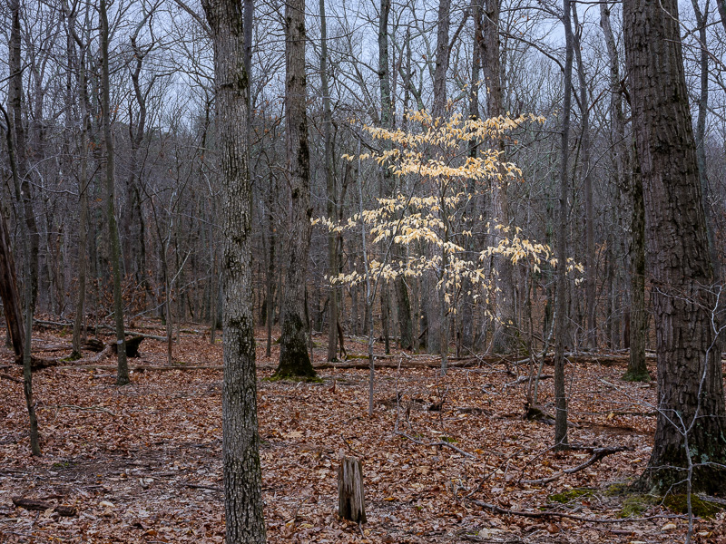 Beech-Tree-on-Gloomy-Day.jpg