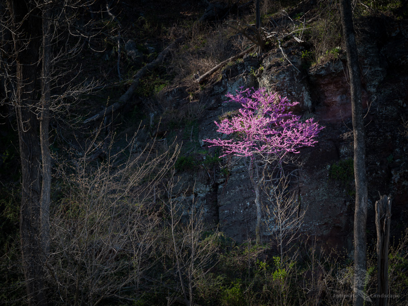 Redbud-on-the-Rocks.jpg