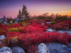 Blueberry bushes, turned red in early autumn seem to glow under the light of dawn