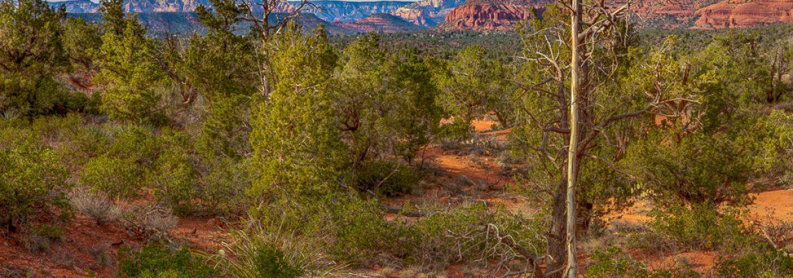 A group of Agave plants grow near Sedona, Arizona