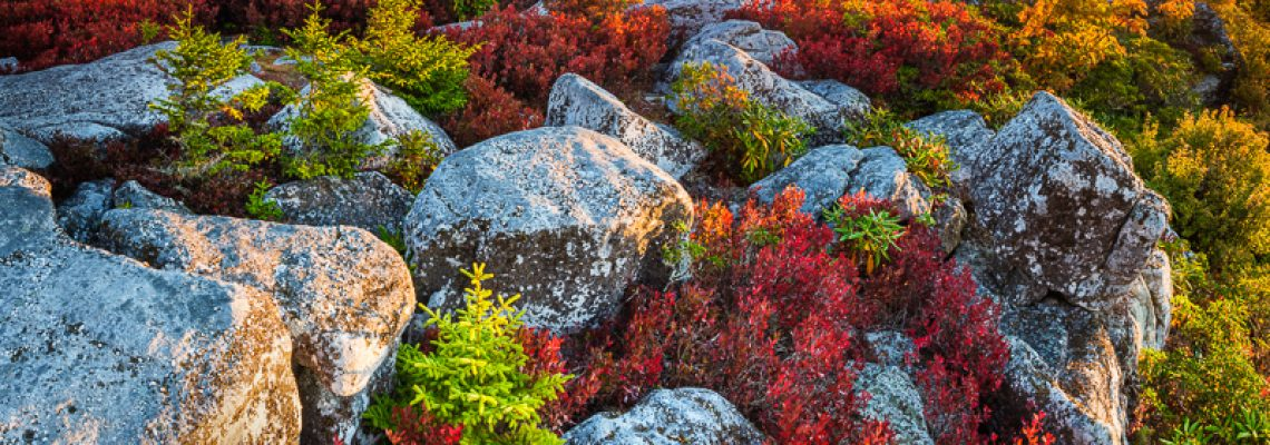 In early autumn, blueberry bushes have turned red mongst the lichen-overed boulders and baby Spruce trees of the Allegheny Front in the Dolly Sods Wilderness in West Virginia.