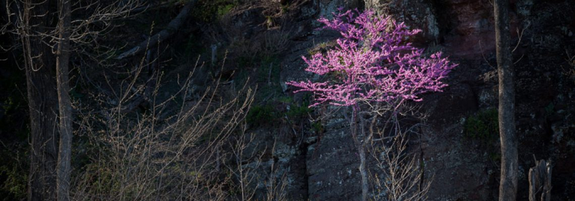 Redbud on the Rocks