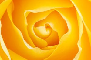 Yellow Rose 2.jpg