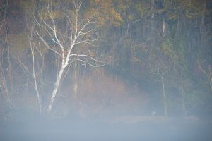 Sycamore and Heron in Fog
