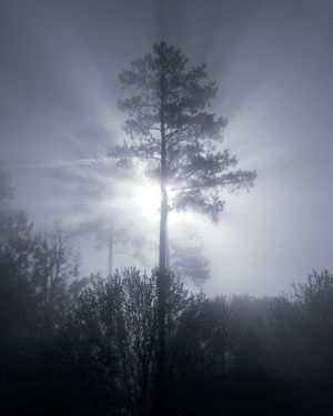 Tree Silhouette in Fog.jpg